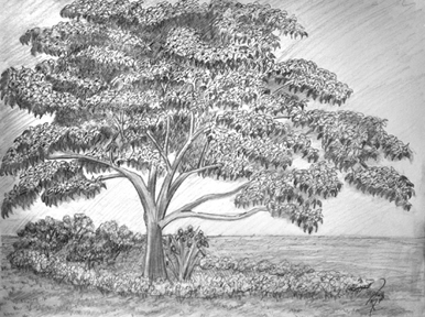 "The Dogwood 11 x 14"" Graphite on paper"